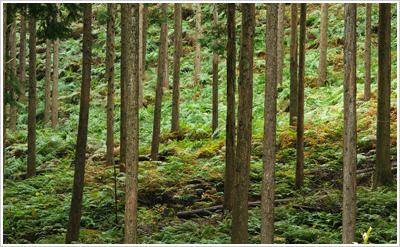 [写真]人工林